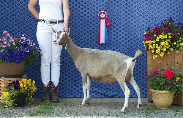Professional Goat Photoshoot 048